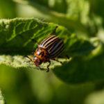 Колорадский жук. Самые эффективные способы борьбы с вредителем