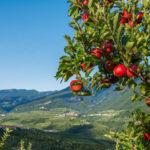 Что необходимо знать о самых известных сортах яблонь