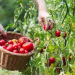 Опрыскивание помидоров. Как и чем опрыскивать помидоры при грибковых заболеваниях
