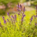 Синеголовник. Посадка и уход за растением в саду