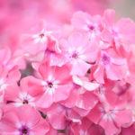 Уход и выращивание метельчатого флокса