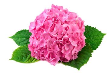 Гортензия Розовая Аннабель