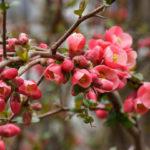 Выращивание декоративных кустов для сада