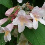 Кольквиция прелестная — украшение весеннего сада