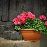 Подкормка пеларгонии дрожжевым раствором для продолжительного цветения