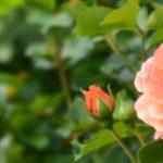 Чем подкормить розу в конце лета для пышного цветения