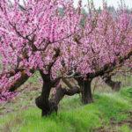 Монилиоз: заболевание поражающее плодовые культуры