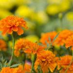 Биологический метод защиты сада и огорода от болезней и вредителей – посадка бархатцев на участке