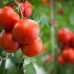 Как правильно формировать томаты?