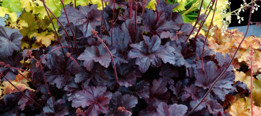 Описание гейхеры, посадка и уход за растением