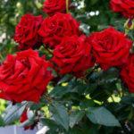 Уход за розой в осенний период времени