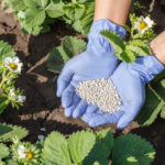 Осенние удобрения. Чем подкормить клубнику и цветы