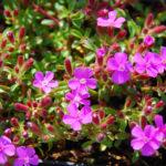 Описание сапонарии, посадка и уход за растением