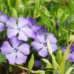Барвинок – вечнозеленый газон круглый год без труда и забот