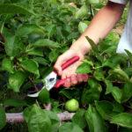 Как правильно обрезать плодоносящие деревья?