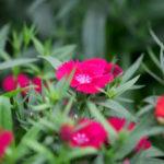Китайская гвоздика – сорта, выращивание, уход