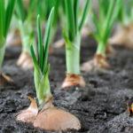 Особенности сбора урожая лука