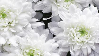 Хризантемы садовые: виды, посадка, уход
