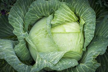 Как выбирать сорта капусты белокочанной