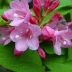 Вейгела – королевский кустарник в вашем саду