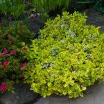 Бересклет Форчуна — украшение вашего сада