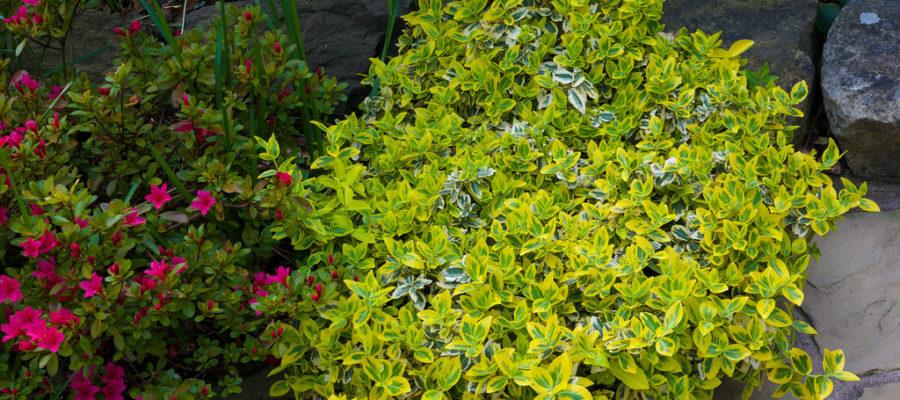 Бересклет Форчуна - украшение вашего сада