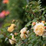 Пересадка чайной розы осенью