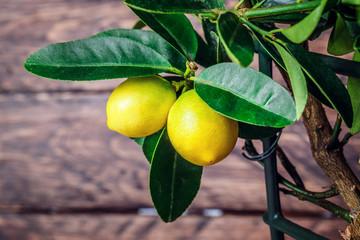 Комнатный лимон – особенности выращивания