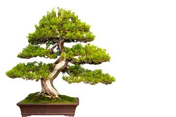 Бонсай - растение в миниатюре