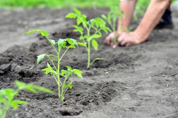 Как посеять рассаду помидоров
