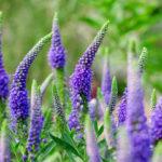 Голубые цветы вероники