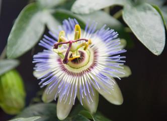 Пассифлора (Староцвет)- Выращивание в домашних условиях