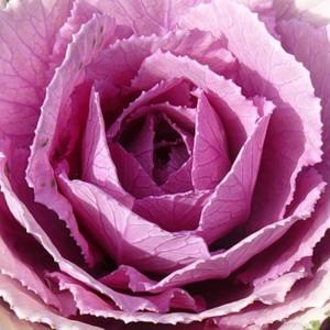 """Сорт капусты """"Розовая цапля"""": уход и выращивание"""