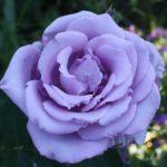 Розы Lavender