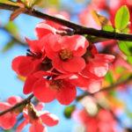 Айва японская — вся красота природы