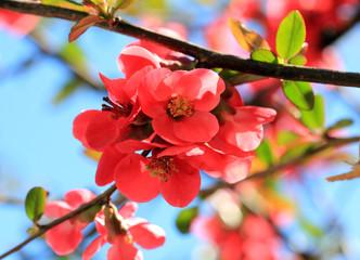 Айва японская - вся красота природы