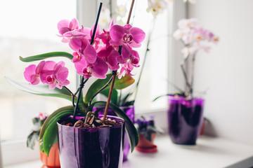 Орхидея Фаленопсис. Адаптация, пересадка и выращивание в домашних условиях