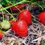 Клубника «Берегиня»: описание сорта, отзывы садоводов и правильный уход