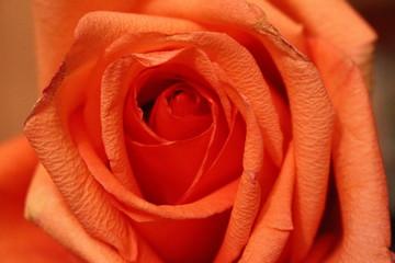 Как продлить период цветения розовых бутонов