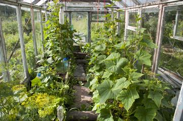 Выращивание огурцов в тепличных условиях. Что нужно знать начинающим овощеводам?