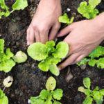 Как выбрать и где лучше приобрести рассаду?