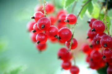 Особенности выращивания красной смородины в открытом грунте
