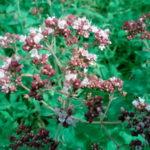 Топ-6 пряных трав против вредителей овощных и декоративных культур