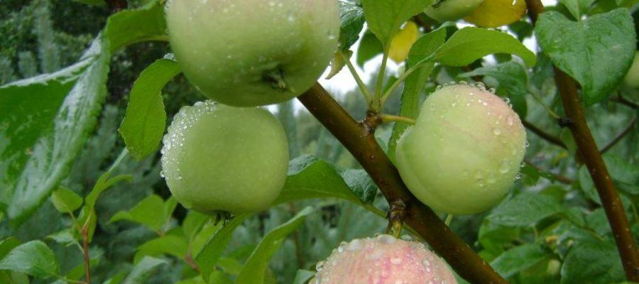 Выращивание яблони сорта Чудное