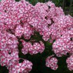 Флоксы, как сажать и выращивать