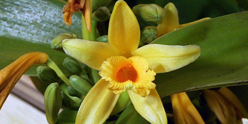 Ванильная орхидея: как вырастить и как ухаживать в домашних условиях