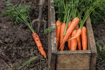 Как вырастить морковь: как посадить, как ухаживать - советы для садоводов