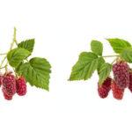 Секреты ухода за плодоносящей малиной: подвязка и подкормка