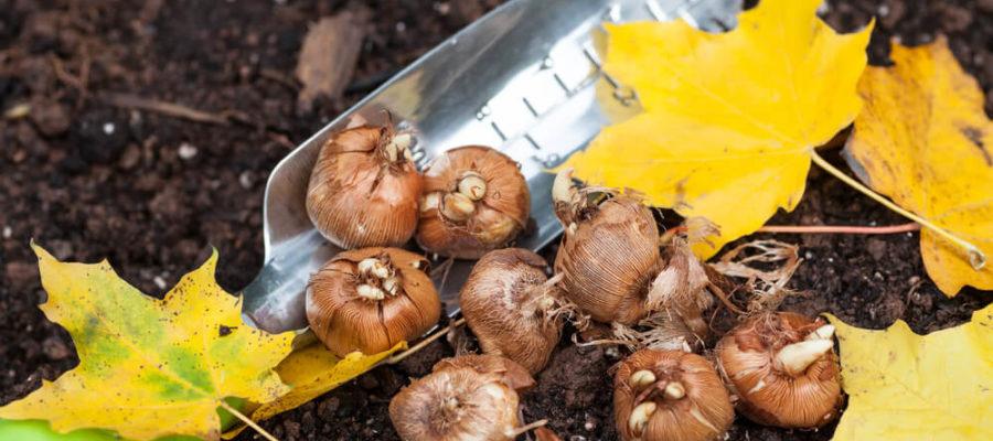 Как правильно посадить луковичные цветы осенью