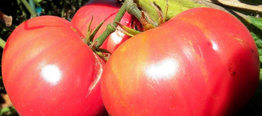 """Сорт томата """"Сахарный гигант"""""""